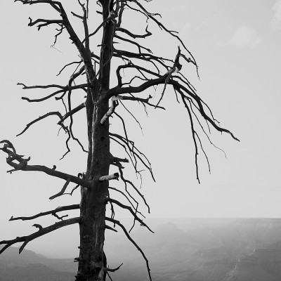 Grand Canyon Dead Tree