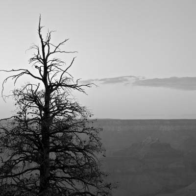Grand Canyon Tall Tree